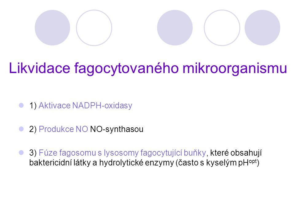 Likvidace fagocytovaného mikroorganismu 1) Aktivace NADPH-oxidasy 2) Produkce NO NO-synthasou 3) Fúze fagosomu s lysosomy fagocytující buňky, které ob