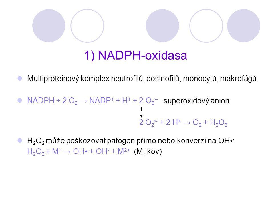 1) NADPH-oxidasa Multiproteinový komplex neutrofilů, eosinofilů, monocytů, makrofágů NADPH + 2 O 2 → NADP + + H + + 2 O 2 - 2 O 2 - + 2 H + → O 2 + H