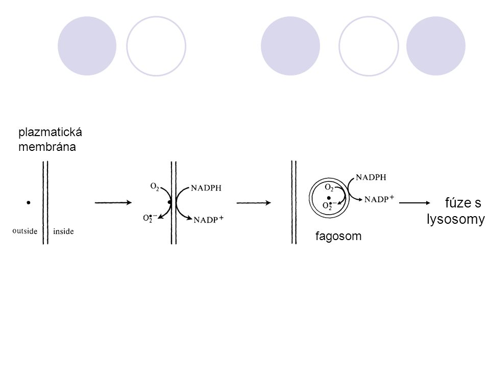 plazmatická membrána fúze s lysosomy fagosom