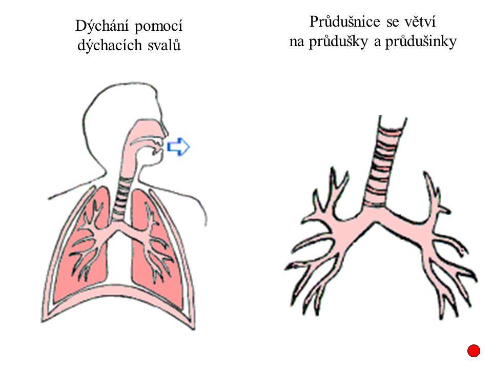 Dýchání pomocí dýchacích svalů Průdušnice se větví na průdušky a průdušinky
