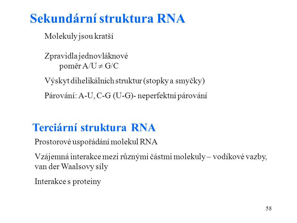 58 Sekundární struktura RNA Molekuly jsou kratší Zpravidla jednovláknové poměr A/U  G/C Výskyt dihelikálních struktur (stopky a smyčky) Párování: A-U