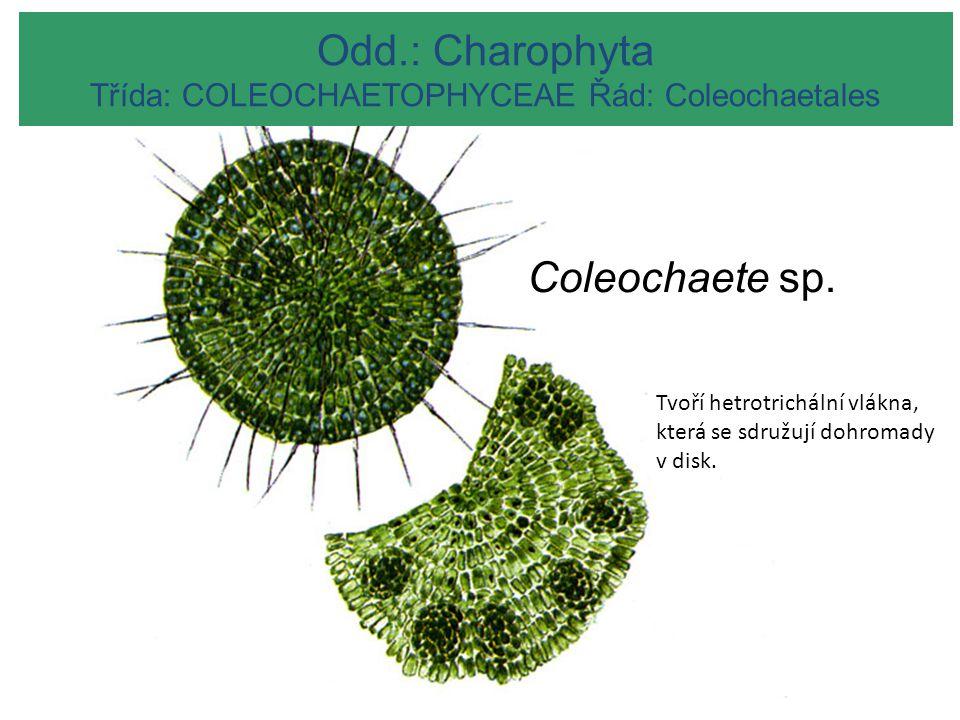 MESOSTIGMATOPHYCEAE Odd.: Charophyta Třída: COLEOCHAETOPHYCEAE Řád: Coleochaetales Coleochaete sp. Tvoří hetrotrichální vlákna, která se sdružují dohr