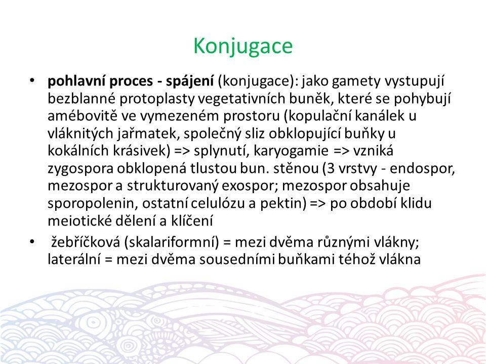 Konjugace pohlavní proces - spájení (konjugace): jako gamety vystupují bezblanné protoplasty vegetativních buněk, které se pohybují amébovitě ve vymezeném prostoru (kopulační kanálek u vláknitých jařmatek, společný sliz obklopující buňky u kokálních krásivek) => splynutí, karyogamie => vzniká zygospora obklopená tlustou bun.