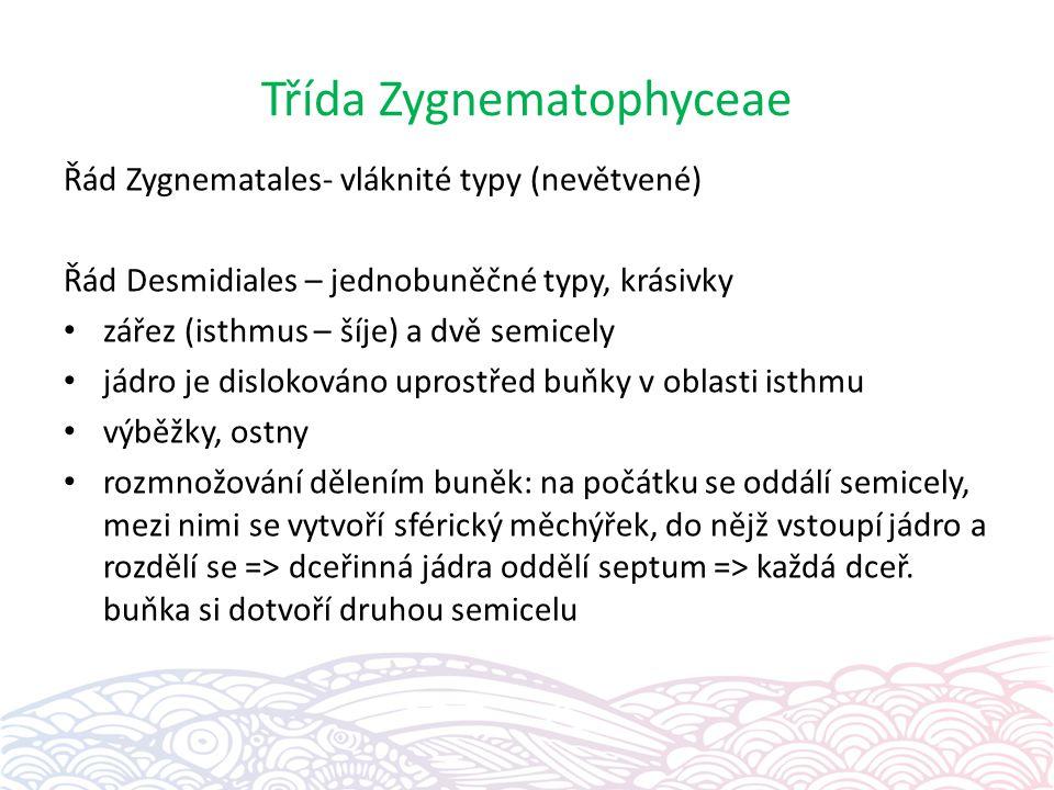 Třída Zygnematophyceae Řád Zygnematales- vláknité typy (nevětvené) Řád Desmidiales – jednobuněčné typy, krásivky zářez (isthmus – šíje) a dvě semicely jádro je dislokováno uprostřed buňky v oblasti isthmu výběžky, ostny rozmnožování dělením buněk: na počátku se oddálí semicely, mezi nimi se vytvoří sférický měchýřek, do nějž vstoupí jádro a rozdělí se => dceřinná jádra oddělí septum => každá dceř.