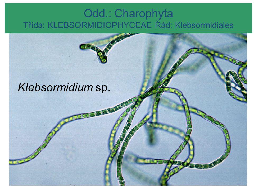 MESOSTIGMATOPHYCEAE Odd.: Charophyta Třída: KLEBSORMIDIOPHYCEAE Řád: Klebsormidiales Klebsormidium sp.