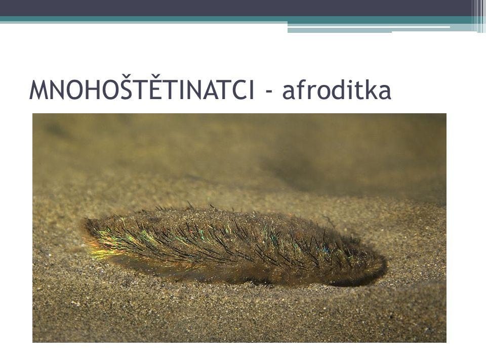 MNOHOŠTĚTINATCI - afroditka