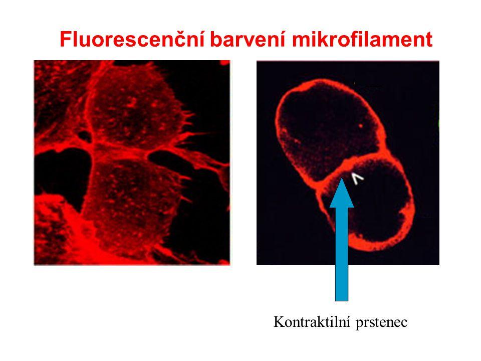 Fluorescenční barvení mikrofilament Kontraktilní prstenec