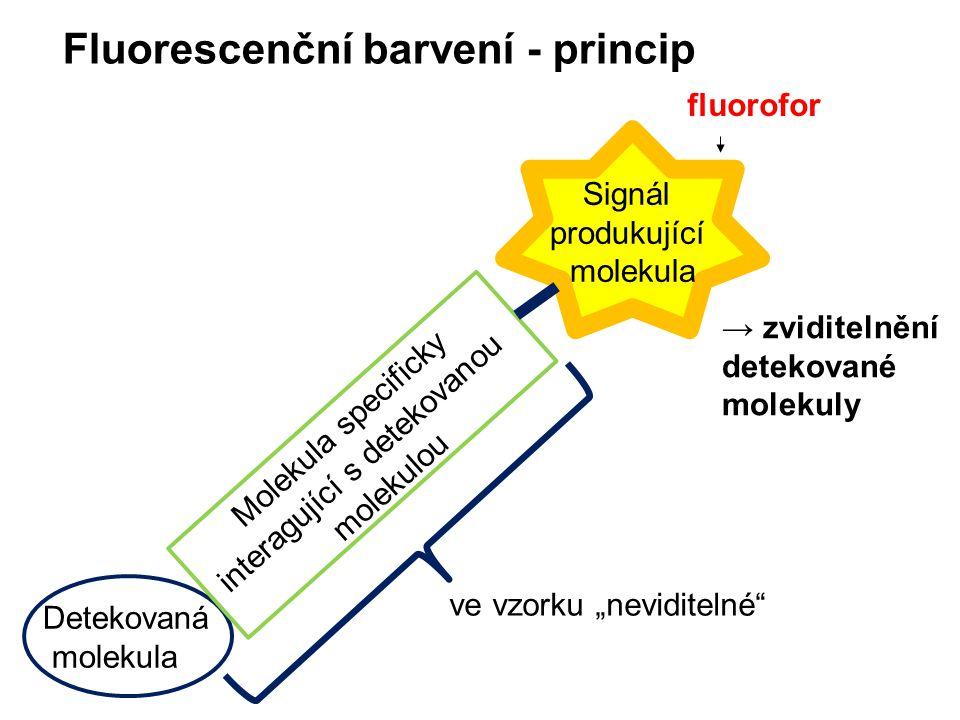 """Fluorescenční barvení - princip Detekovaná molekula Molekula specificky interagující s detekovanou molekulou ve vzorku """"neviditelné"""" → zviditelnění de"""