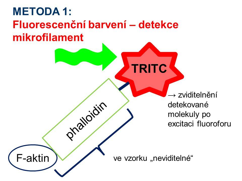 """METODA 1: Fluorescenční barvení – detekce mikrofilament F-aktin phalloidin ve vzorku """"neviditelné"""" → zviditelnění detekované molekuly po excitaci fluo"""