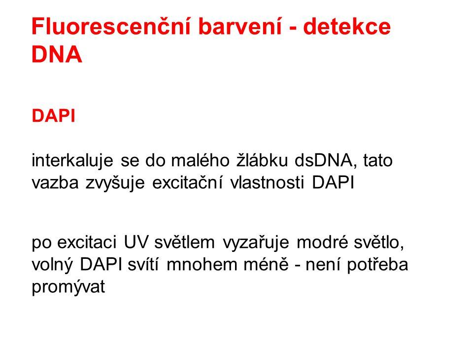 Fluorescenční barvení - detekce DNA DAPI interkaluje se do malého žlábku dsDNA, tato vazba zvyšuje excitační vlastnosti DAPI po excitaci UV světlem vy