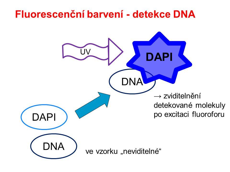 """Fluorescenční barvení - detekce DNA DNA ve vzorku """"neviditelné"""" → zviditelnění detekované molekuly po excitaci fluoroforu DAPI DNA UV"""