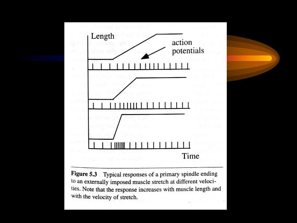 Monosynaptické reflexy + rychlost vedení vzruchu
