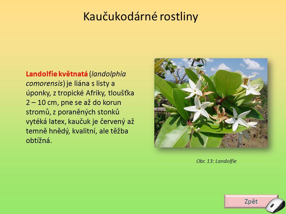 Zpět Obr. 13: Landolfie Landolfie květnatá (landolphia comorensis) je liána s listy a úponky, z tropické Afriky, tloušťka 2 – 10 cm, pne se až do koru