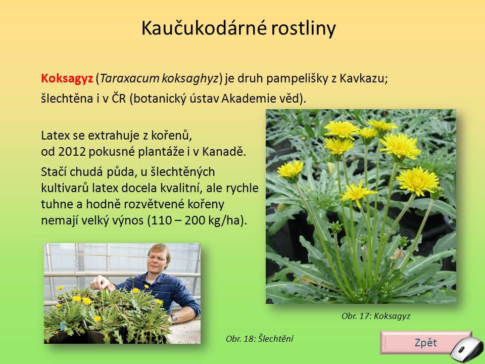 Zpět Obr. 17: Koksagyz Koksagyz (Taraxacum koksaghyz) je druh pampelišky z Kavkazu; šlechtěna i v ČR (botanický ústav Akademie věd). Kaučukodárné rost