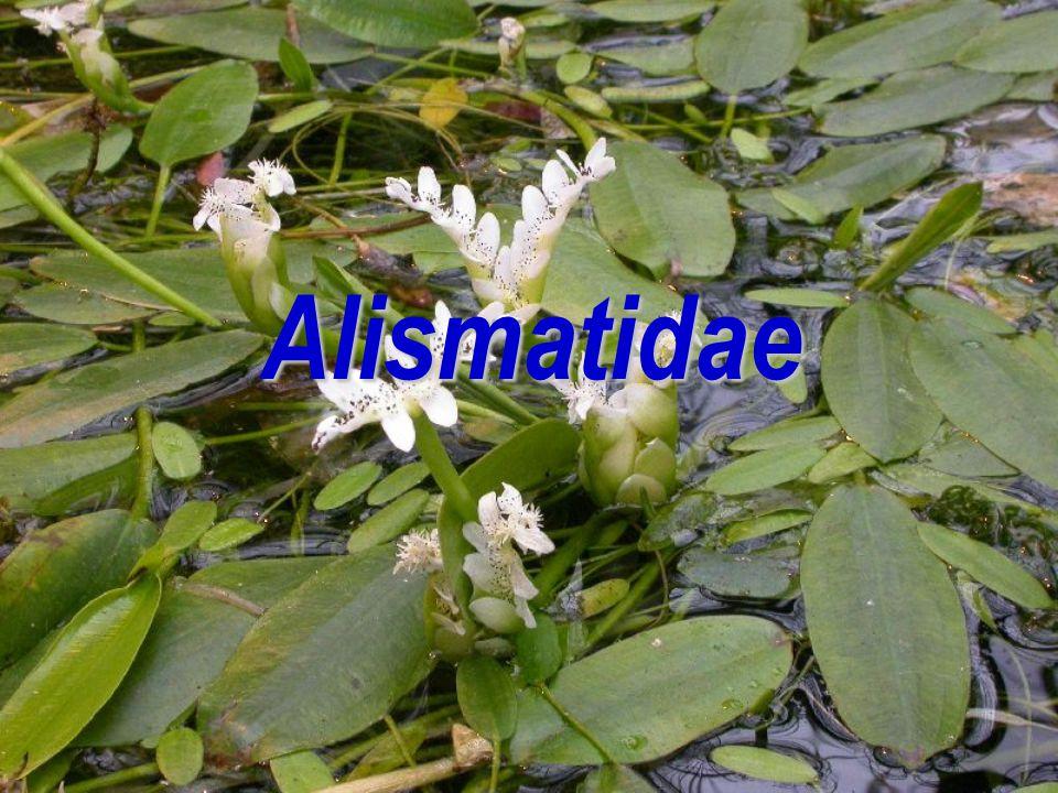Okřehkovité (Lemnaceae) Alismatales (MONOCOTS) Arales (Aridae) Životní formaByliny s redukovaným cormusem Stonekchybí ListyJediný lístek plovoucí, výjimečně několik plovoucích lístků KvětyVýrazně redukované Stavba květu♀ G(1) ♂ A 1 Produkty spec.