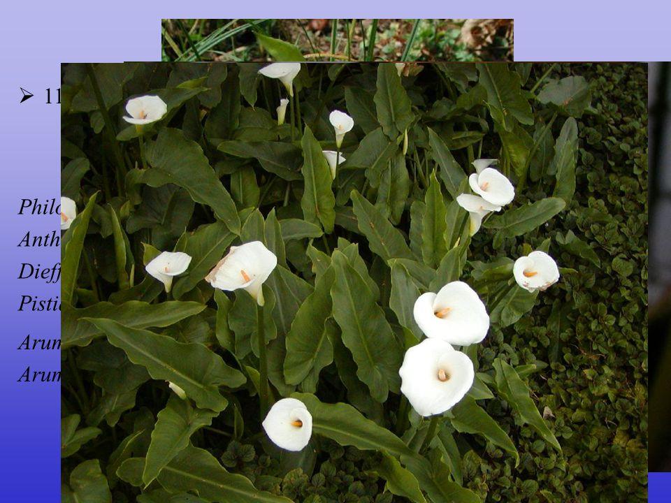 Araceae  110/3000; téměř kosmopolitní, centrum tropy Arum italicum Arum maculatum, Calla palustris Philodendron (500), Amorphophallus (zmijovec)(100)