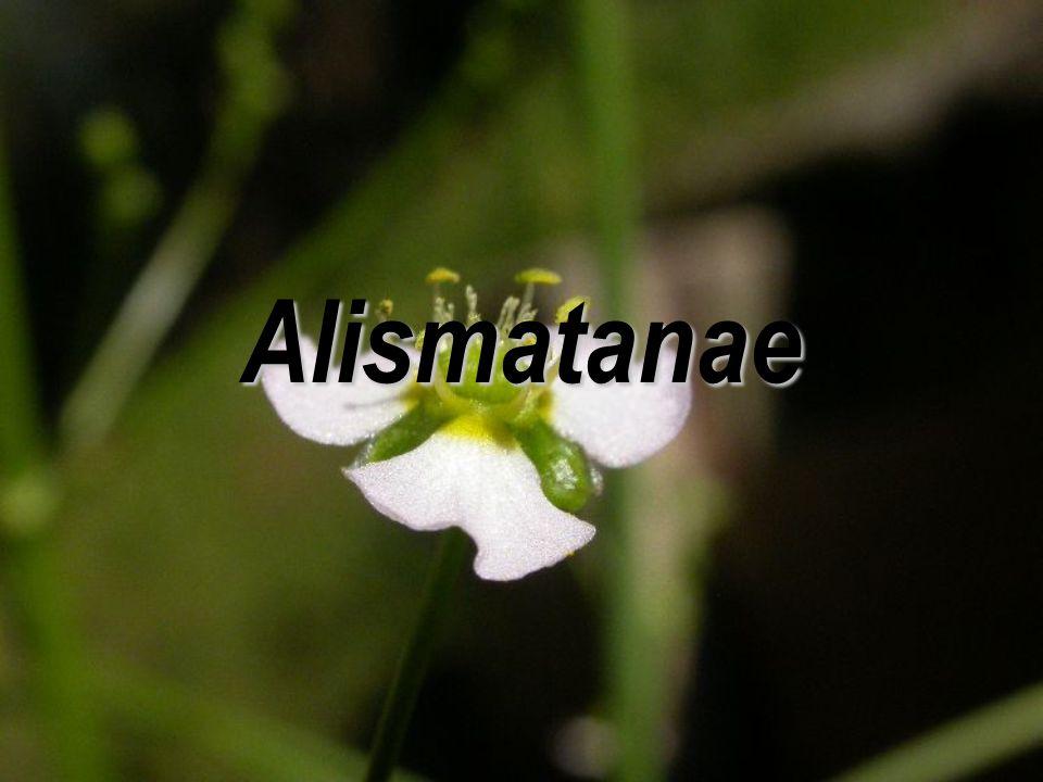 Alismatanae