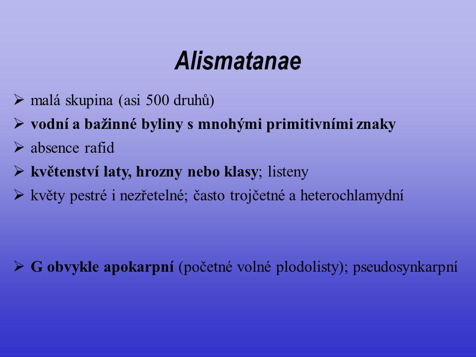 Alismatanae  vodní a bažinné byliny s mnohými primitivními znaky  malá skupina (asi 500 druhů)  absence rafid  květenství laty, hrozny nebo klasy;