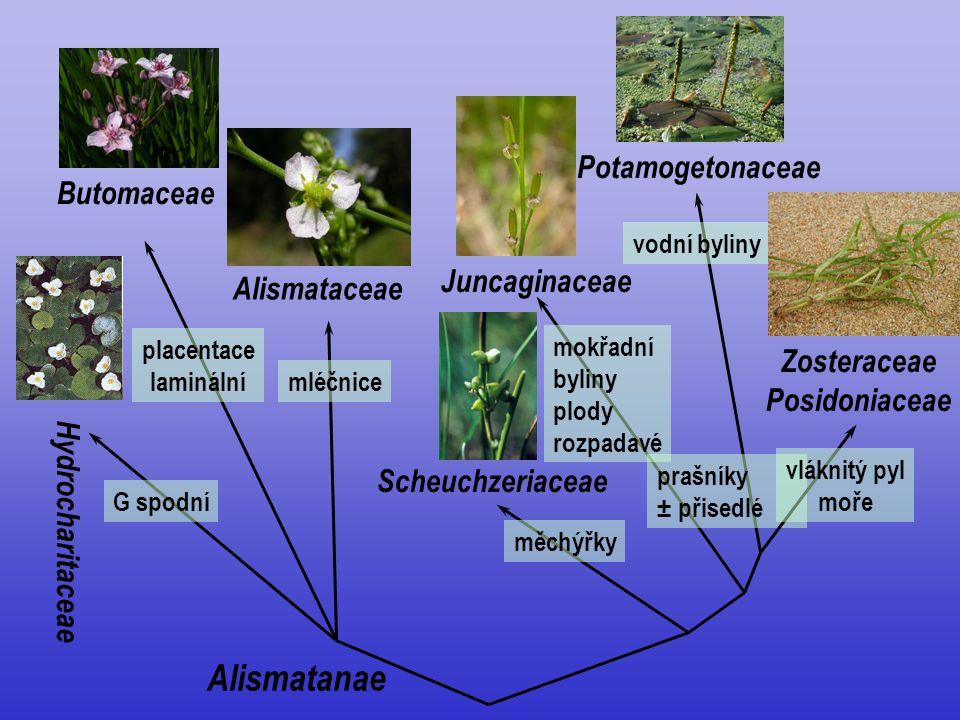 Alismatanae Butomaceae Hydrocharitaceae Alismataceae Scheuchzeriaceae G spodní placentace laminální mléčnice měchýřky Juncaginaceae Potamogetonaceae m