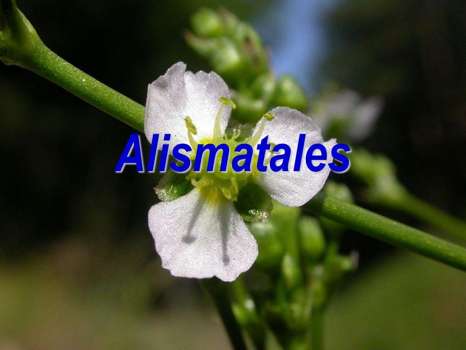 Alismatales