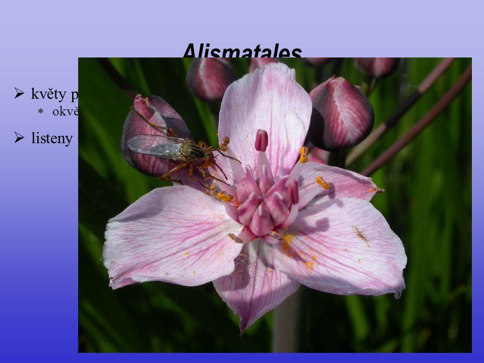  listeny často vyvinuté Alismatales  květy poměrně nápadné  okvětí zpravidla ze dvou rozlišených kruhů (K3 C3)