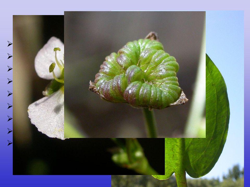 Alismataceae  12/80, téměř kosmopolitní  častá heterofylie, čepel vyvinutá  květenství hroznovité nebo latovité, často přeslenitě větvené  plody z
