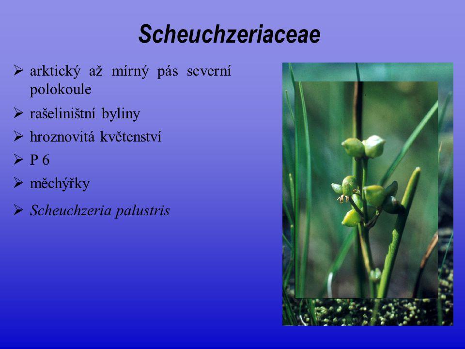  arktický až mírný pás severní polokoule  rašeliništní byliny  P 6  Scheuchzeria palustris Scheuchzeriaceae  hroznovitá květenství  měchýřky
