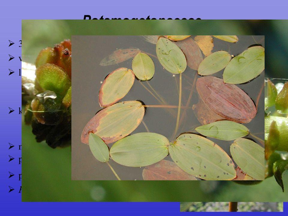  plody jednosemenné peckovice  Potamogeton natans, P. pectinatus  květy  oboupohlavné, v klasech  čtyřčetné  nitky kratičké, přirostlé k okvětí