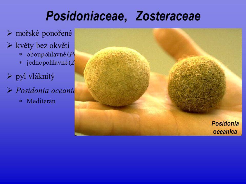  Posidonia oceanica  Mediterán  mořské ponořené rostliny Posidoniaceae, Zosteraceae  květy bez okvětí  oboupohlavné (Posidoniaceae)  jednopohlav