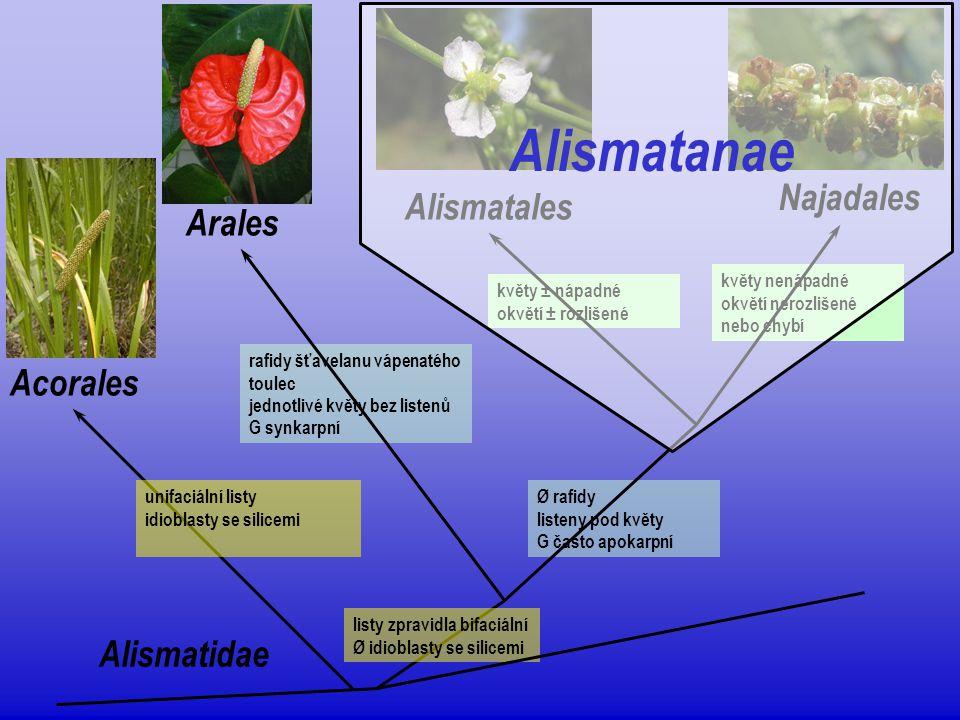 Alismatanae  vodní a bažinné byliny s mnohými primitivními znaky  malá skupina (asi 500 druhů)  absence rafid  květenství laty, hrozny nebo klasy; listeny  květy pestré i nezřetelné; často trojčetné a heterochlamydní  G obvykle apokarpní (početné volné plodolisty); pseudosynkarpní