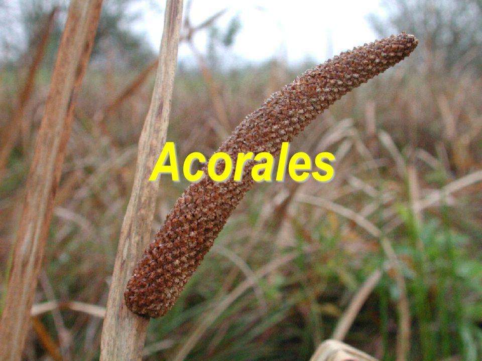 """ jediná čeleď Acoraceae  1/2–4; rozšíření převážně holarktické, výskyt i paleotropické oblasti Acorales  listy čárkovité; unifaciální, mečovité  idioblasty obsahující silice  (podobně jako mnozí zástupci Magnoliopsida)  květy  v husté palici – pod palicí zelený """"listen , připomíná pokračující lodyhu Acorus calamus – východní Asie  1574 Clusius do botanické zahrady ve Vídni  oboupohlavné  P 3+3, A3+3, G (3), synkarpní  plody částečně dužnaté – """"bobule"""
