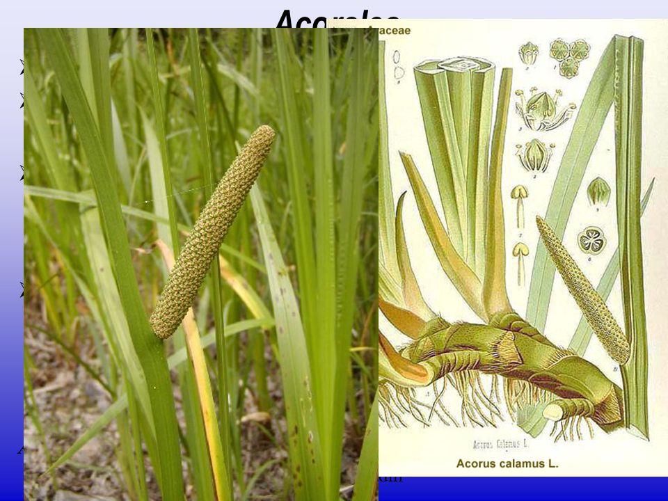  jediná čeleď Acoraceae  1/2–4; rozšíření převážně holarktické, výskyt i paleotropické oblasti Acorales  listy čárkovité; unifaciální, mečovité  i
