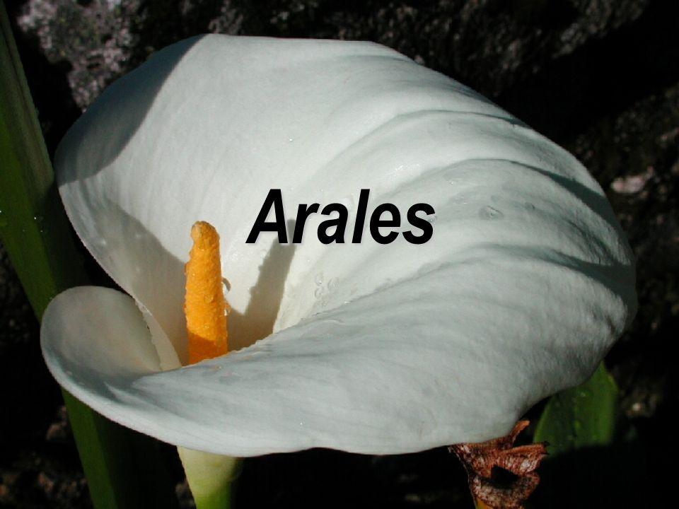 Arales