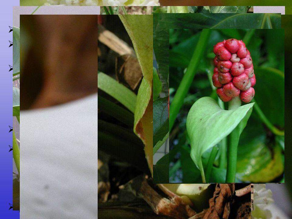  květy  nenápadné, oboupohlavné i jednopohlavné a kombinace  entomogamie převažuje (specializované opylovací mechanizmy; protogynie) Arales  bylin