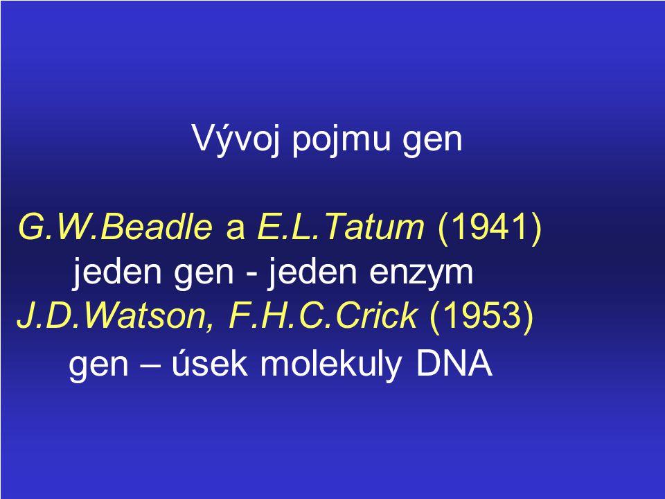 Vývoj pojmu gen G.W.Beadle a E.L.Tatum (1941) jeden gen - jeden enzym J.D.Watson, F.H.C.Crick (1953) gen – úsek molekuly DNA