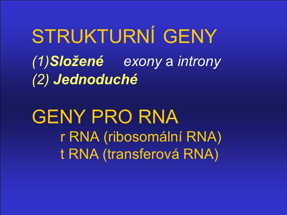 STRUKTURNÍ GENY (1)Složené exony a introny (2) Jednoduché GENY PRO RNA r RNA (ribosomální RNA) t RNA (transferová RNA)