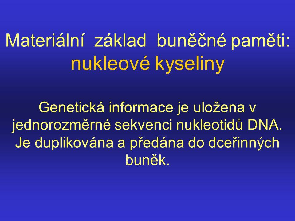 Materiální základ buněčné paměti: nukleové kyseliny Genetická informace je uložena v jednorozměrné sekvenci nukleotidů DNA. Je duplikována a předána d