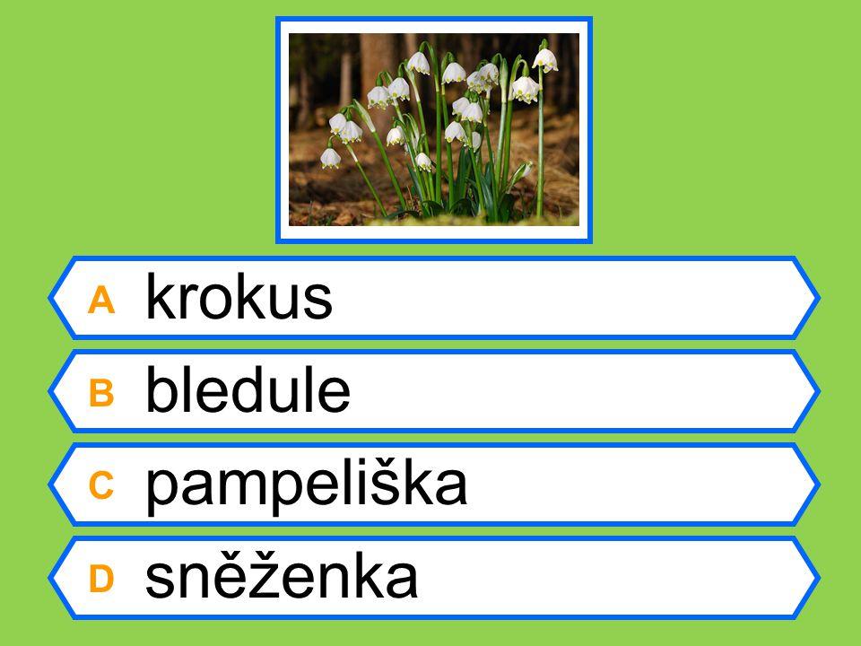 A sněženka B tulipán C hyacint D sasanka