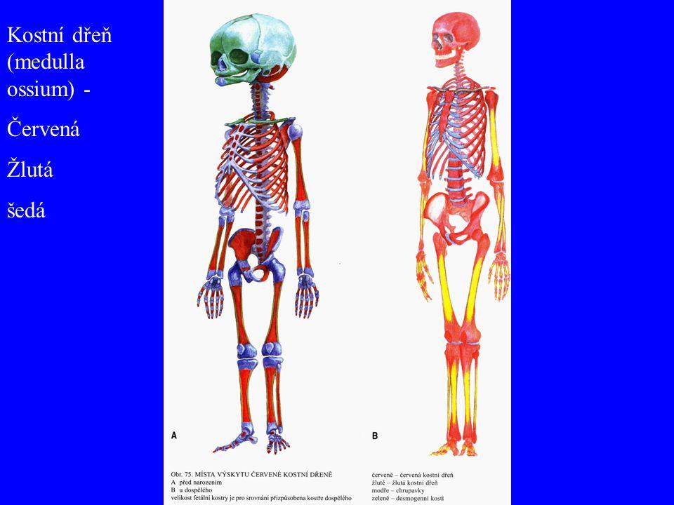 Kostní dřeň (medulla ossium) - Červená Žlutá šedá