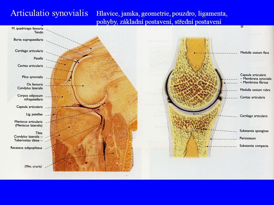 Articulatio synovialis Hlavice, jamka, geometrie, pouzdro, ligamenta, pohyby, základní postavení, střední postavení