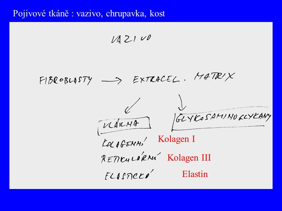 Pojivové tkáně : vazivo, chrupavka, kost Kolagen I Elastin Kolagen III