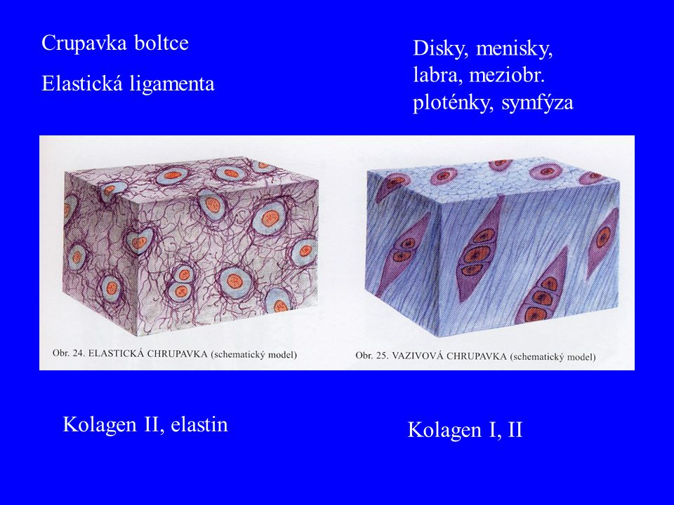 Crupavka boltce Elastická ligamenta Disky, menisky, labra, meziobr. ploténky, symfýza Kolagen II, elastin Kolagen I, II