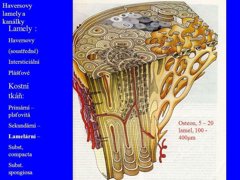 Haversovy lamely a kanálky Lamely : Haversovy (soustředné) Intersticiální Plášťové Kostní tkáň: Primární – plsťovitá Sekundární – Lamelární – Subst, c