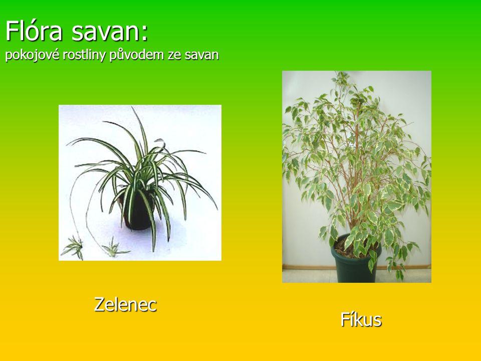 Flóra savan: pokojové rostliny původem ze savan Zelenec Fíkus