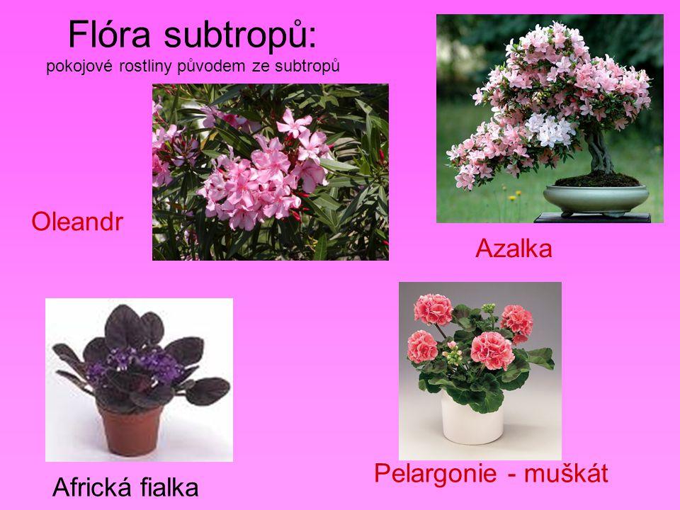 Flóra subtropů: pokojové rostliny původem ze subtropů Oleandr Azalka Africká fialka Pelargonie - muškát