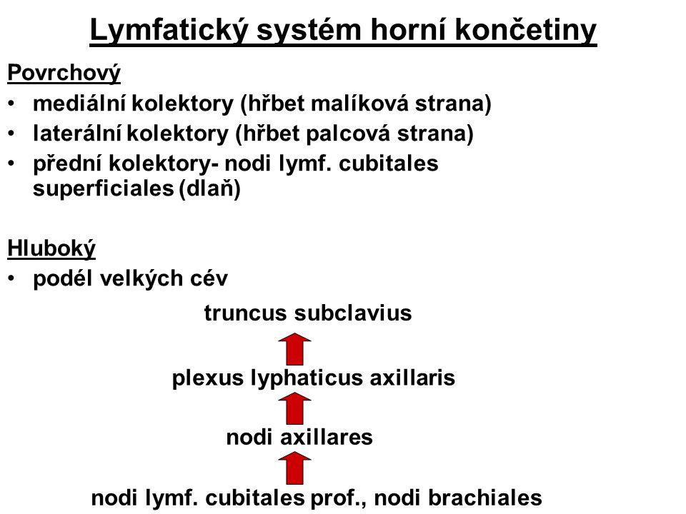Lymfatický systém horní končetiny Povrchový mediální kolektory (hřbet malíková strana) laterální kolektory (hřbet palcová strana) přední kolektory- no