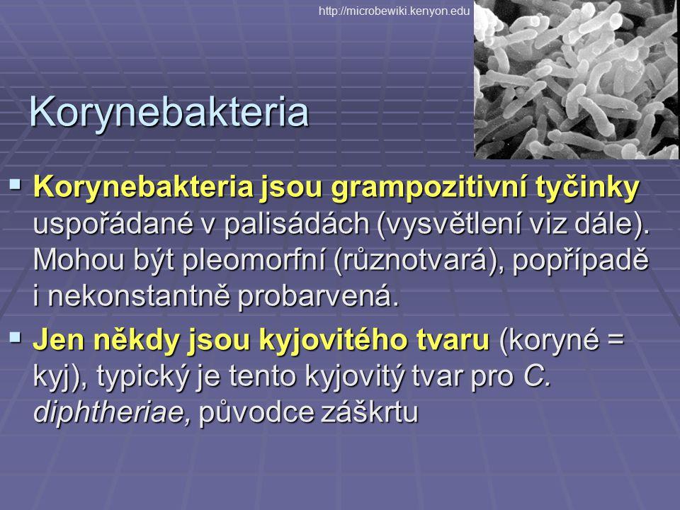 Korynebakteria  Korynebakteria jsou grampozitivní tyčinky uspořádané v palisádách (vysvětlení viz dále). Mohou být pleomorfní (různotvará), popřípadě