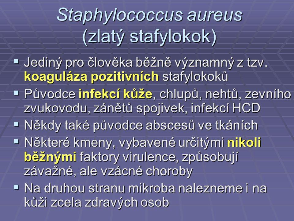 Staphylococcus aureus (zlatý stafylokok)  Jediný pro člověka běžně významný z tzv. koaguláza pozitivních stafylokoků  Původce infekcí kůže, chlupů,
