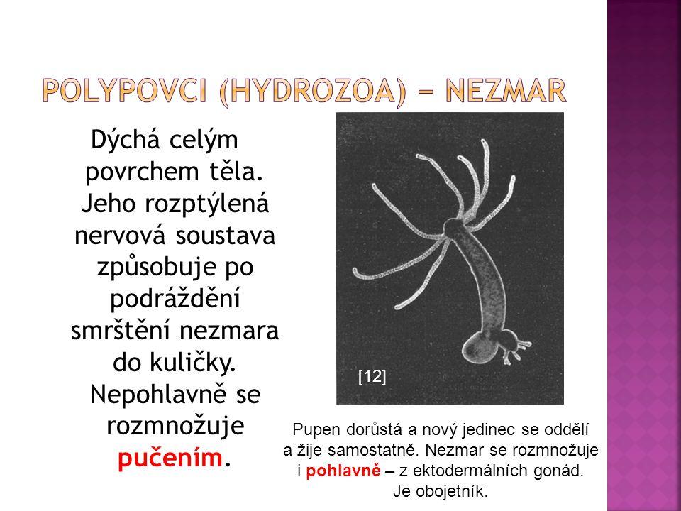 Dýchá celým povrchem těla. Jeho rozptýlená nervová soustava způsobuje po podráždění smrštění nezmara do kuličky. Nepohlavně se rozmnožuje pučením. [12