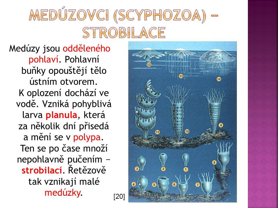 Medúzy jsou odděleného pohlaví. Pohlavní buňky opouštějí tělo ústním otvorem. K oplození dochází ve vodě. Vzniká pohyblivá larva planula, která za něk